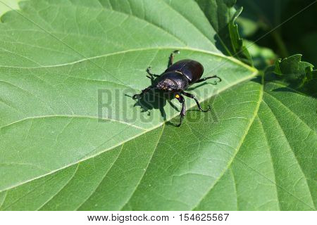 The stag-beetle female on a green leaf