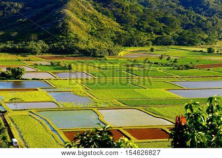 Taro Fields In Beautiful Hanalei Valley On Kauai