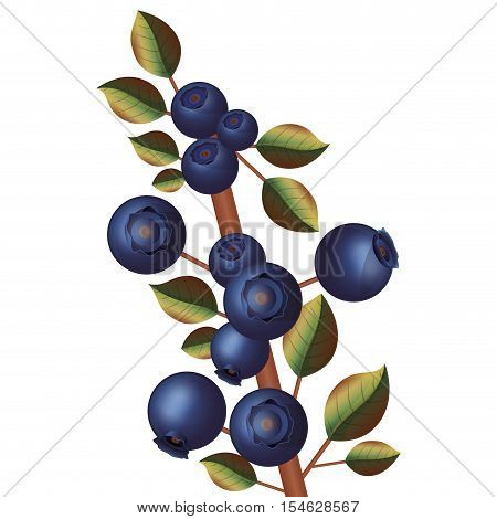branch with purple blueberries thick stalk vector illustration