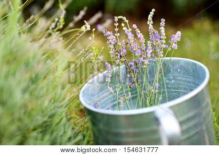 Some lavender in a metal bucket on summer day