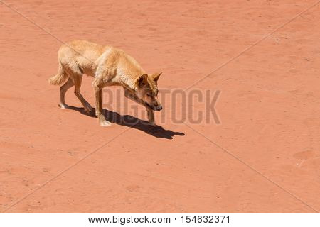 Dingo in outback Australia running up to something - panning shot, dingo is sharp, background is blurred