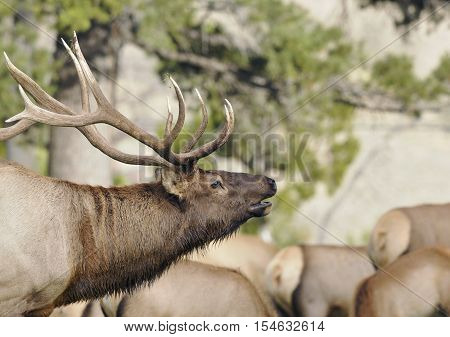 Wild Bull Elk in Leading it's Herd