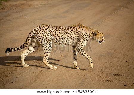 Male cheetah walking right across dirt road in Kenya