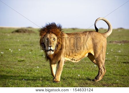 Magnificent African lion with curled tail staring at viewer in masai mara