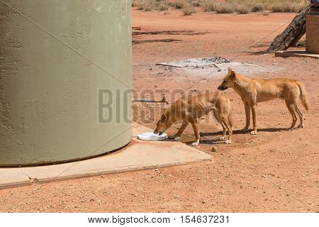 Two healthy dingos at camp ground in Northern Territory