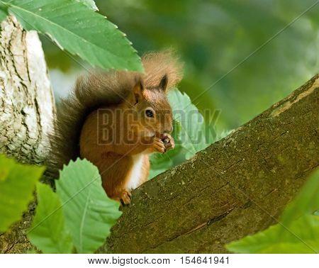 British native Red Squirrel in tree on Brownsea Island Dorset.