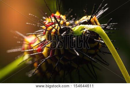 Macro Of Painted Jezebel (delias Hyparete) Caterpillars On Their Host Plant Leaf In Nature,butterfly