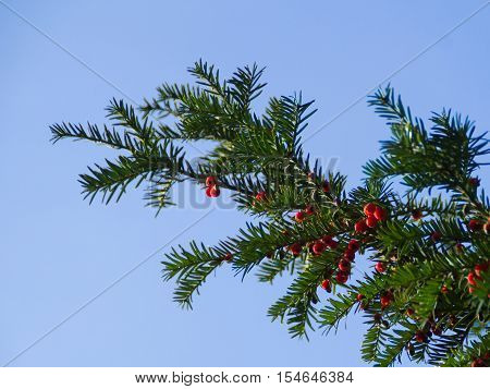 Yew tree with red fruits. Taxus baccata