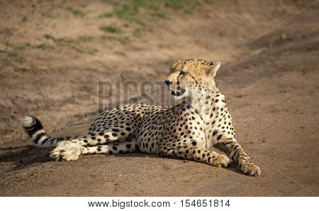A cheetah rests on a dirt road looking left in Kenya's Masai Mara National Park