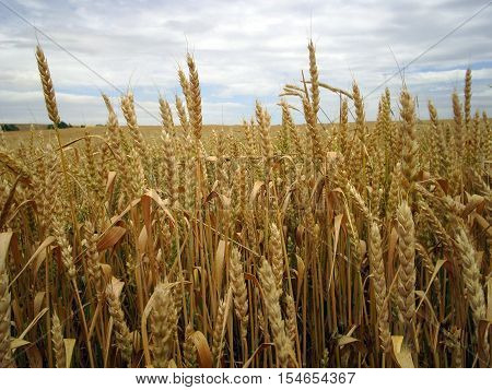 Wheat ears that have begun to mature are waiting for the day to be flour