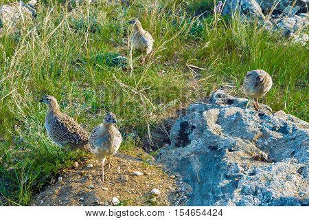 Group partridge birds (Perdix daurica) in their natural habitat