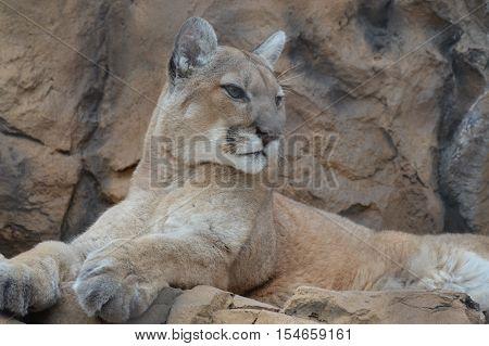 An adult puma resting on the rocks