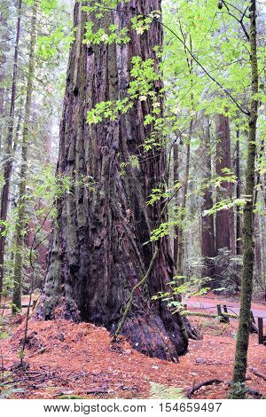 Coastal Redwood Forest which are the tallest trees in the world taken in Northern California