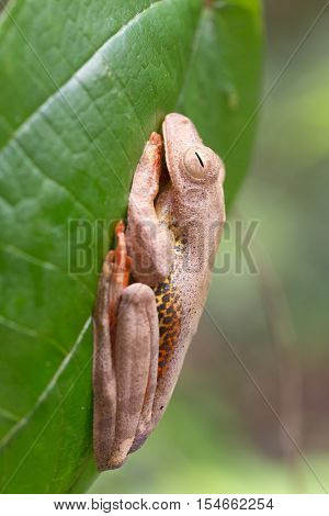 Tropical forest frog stuck to a large leaf in the Borneo forest of Kubah, Malaysia