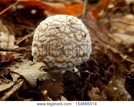 Close up of a young specimen of Amanita Pantherina, also known as Panther Cap