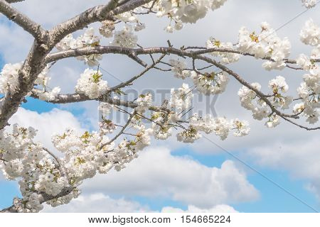 The beautiful Branches & flowers of the wild cherry tree