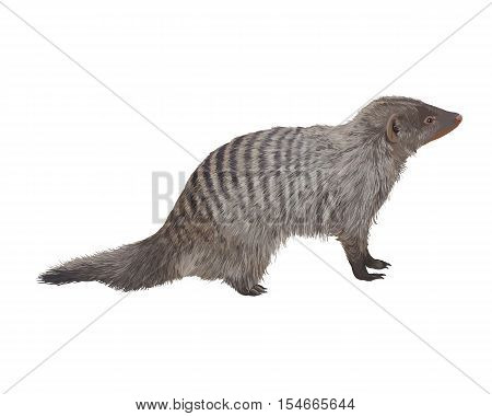 Striped mongoose on white background. Realistic detailed vector illustration