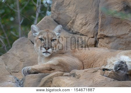 An adult puma resting on the tocks