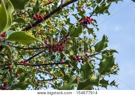 Prickly leaves and red Berries of the Holly bush