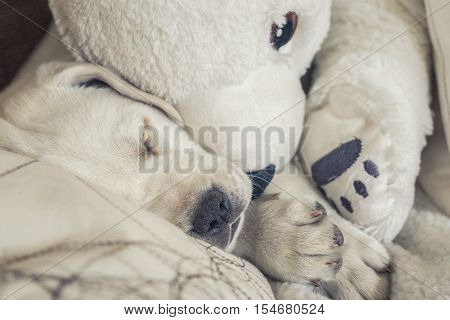 cuddly toy of polar bear and a white labrador puppy cuddle on the couch