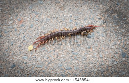 centipede lying dead on the road,The remains of the dead