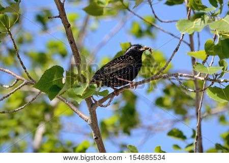 Bird star sitting with worm in beak on a willow tree