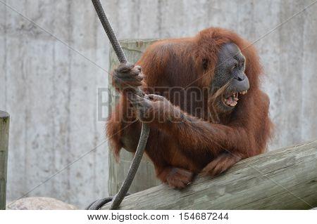 An adult orangutan clinging to a rope
