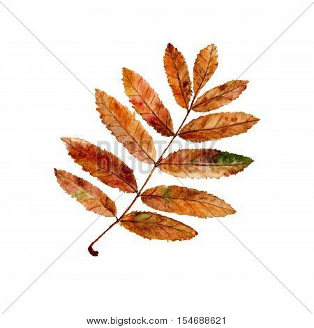 Autumn rowan leaf. Watercolor autumn leaf on white background. Hand painted.