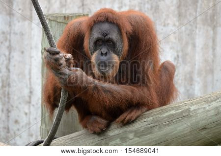 An orangutan gripping on to a rope