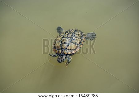 Lonely Turtle Swimming In A Lake