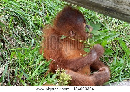 An orangutan outside on the rocks during summer