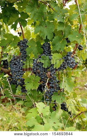 A bunch of ripe blue grapes on a wine stock in a wine yard in Ontario waiting for frost to become icewine.