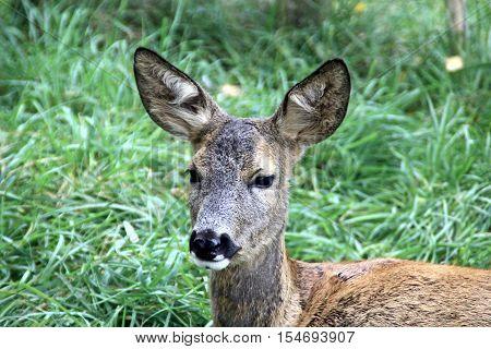 Portrait of the roe deer in the meadow