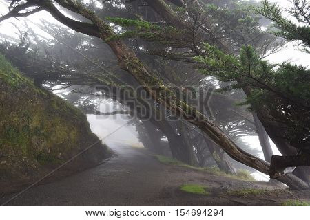 Wind swept Cypress Trees surrounding a road with fog taken in Pt Reyes, CA