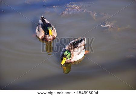 Two mallard ducks swim near the shore at Big Bear Lake in Southern California.