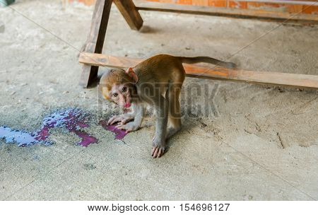 Monkey drinking red nectar.Hungry water Monkey small