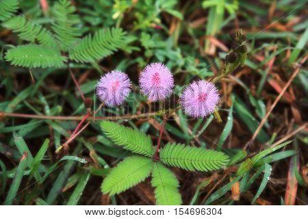Beautiful violet/purple flowers mimosa pudica sensitive plant