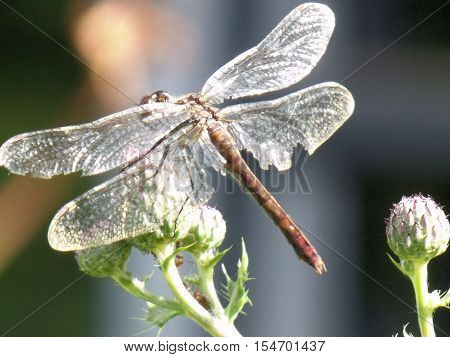 Damselfly Perched on a Flower Bud in the Sun