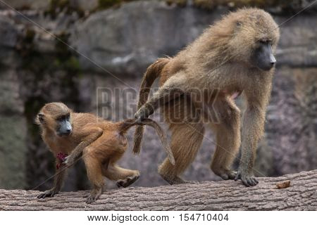 Guinea baboon (Papio papio). Female baboon with its newborn baby. Wildlife animal.