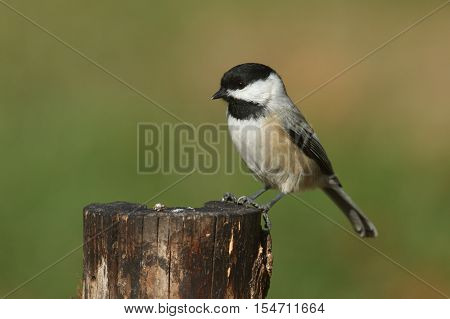 Black-capped Chickadee (poecile atricapilla) on a stump in fall
