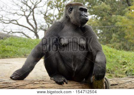 A female western lowland gorilla sitting on log