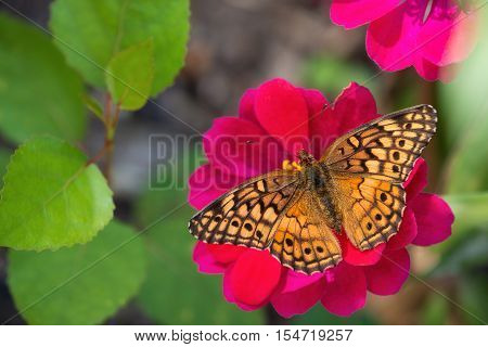 The Variegated Fritillary (Euptoieta claudia) feeding on red Zinnia flower