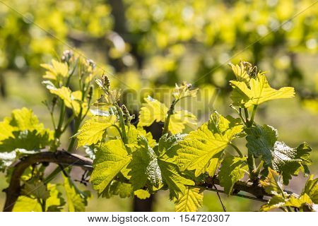 fresh grapevine leaves and tendrils in vineyard in springtime