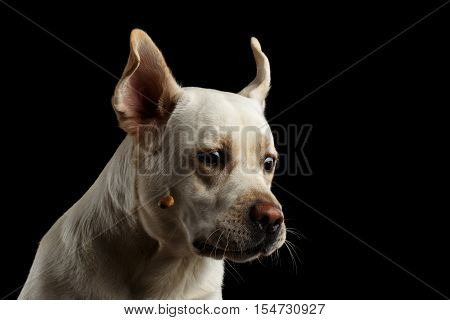 Funny moment, beige Labrador retriever dog catching treats with curious face in front of isolated black background