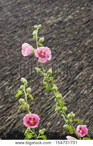 Blossom Common Hollyhock Alcea Rosea close-up  selective focus shallow DOF