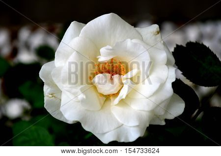 White and fresh florescent rose with blur background