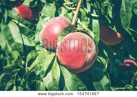 Ripening peach fruits hanging on a branch in the sunlight. Selected focus