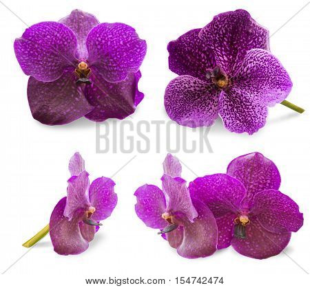 Orchid isolated, multiple orchid isolated on white background, Vanda orchid, violet orchid, macro orchid, orchid with pollens. Vanda isolated