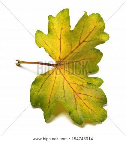 Multi Colored Autumn Leaf