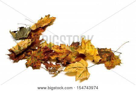 Autumn Multicolor Dry Maple Leafs